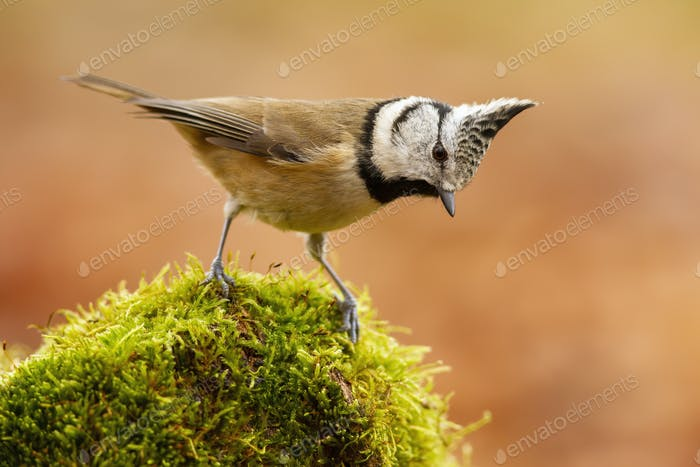 Little crested tit standing on moss in summer nature