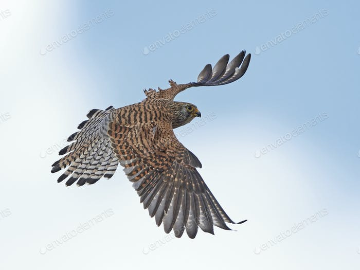 Kleiner Kestrel (Falco naumanni)