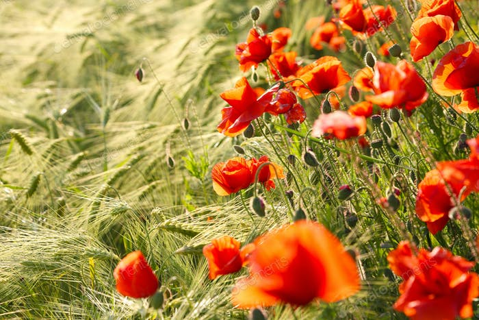 Wild red summer poppies in wheat field.