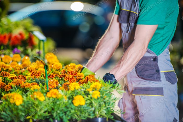 Garden Store Worker Organizes Potted Flowers On Stand.