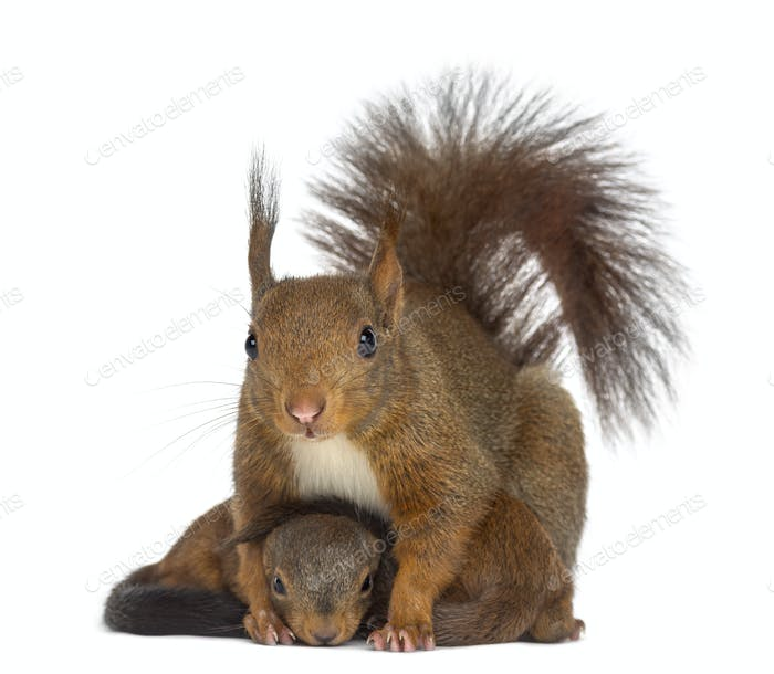 Mother Red squirrel and babies in front of a white background