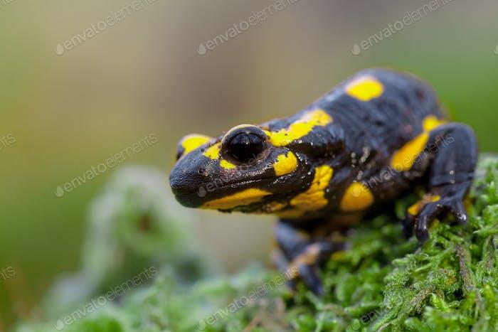 Head of a Fire salamander in its natural habitat