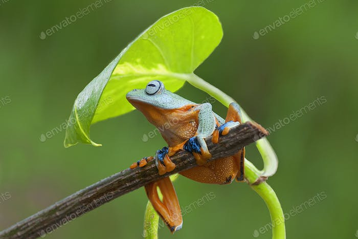 Tree Frogs Flying Frog Sitting on a Branch