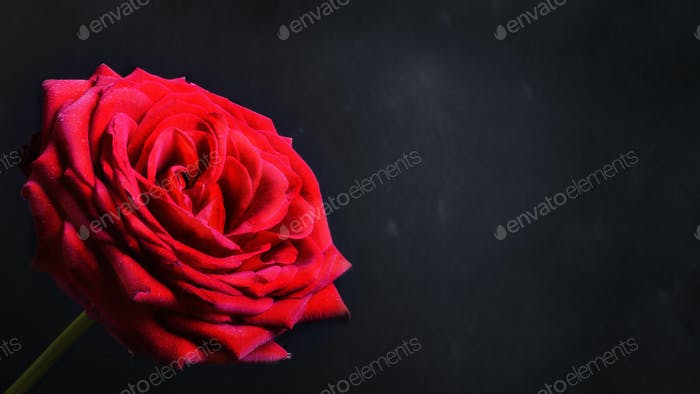 Red rose on a black background. Copy space