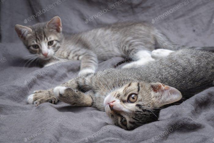 Ein Paar verspielte junge grau gestreifte Kätzchen liegen auf grau