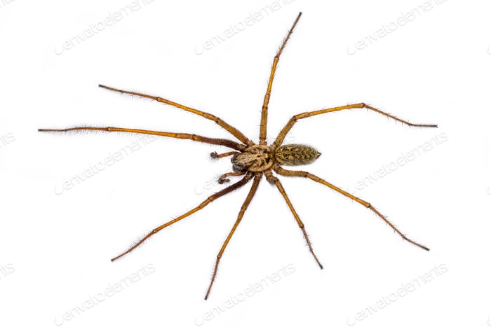 Giant house spider isolated on white background