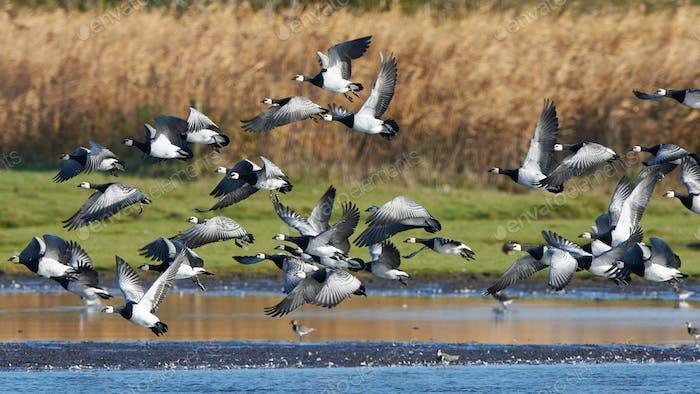 Barnacle geese (Branta leucopsis)