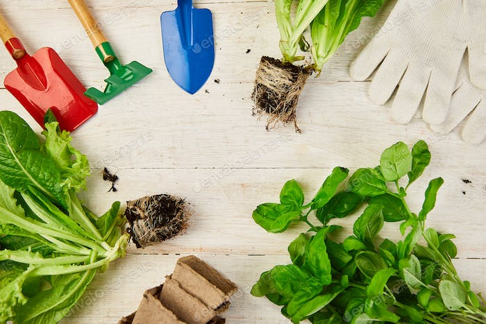 Flat lay of Gardening tools, basil, eco flowerpot, soil on white wooden background.