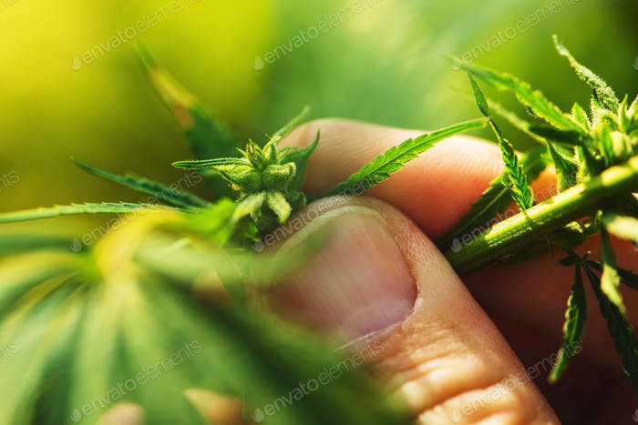 Farmer is examining cannabis hemp male plant flower development
