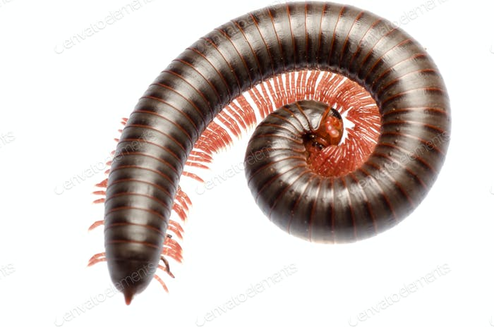animal millipede