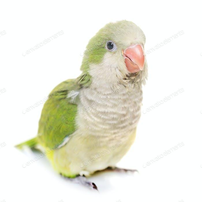Monk parakeet in studio