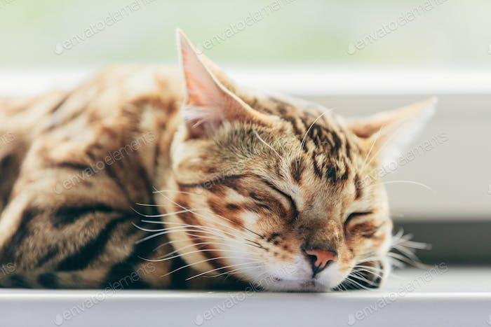 Entspannte bengalische Katze schläft glücklich, während sie auf einer Fensterbank liegend.
