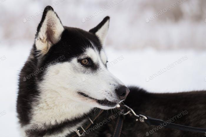 Schöner sibirischer Husky Hund im Winterwald