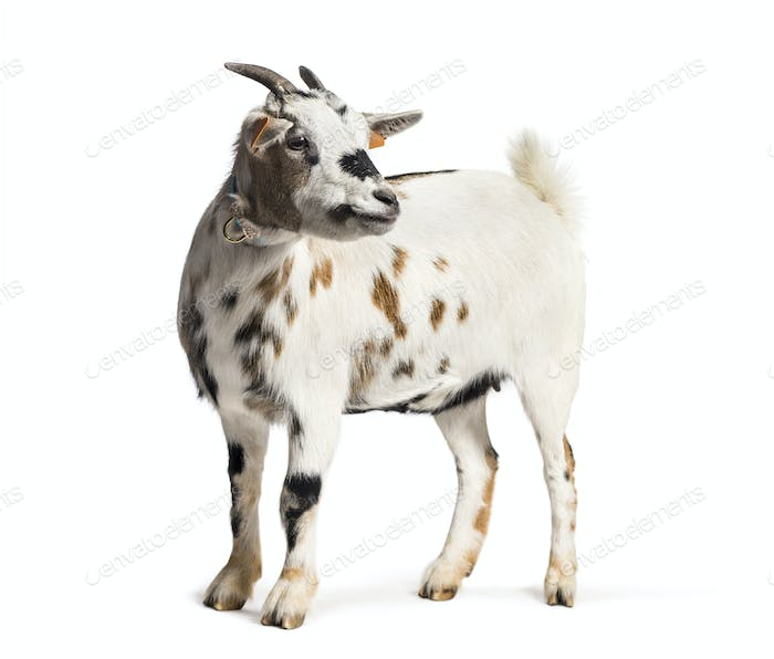 Goat in front of white background