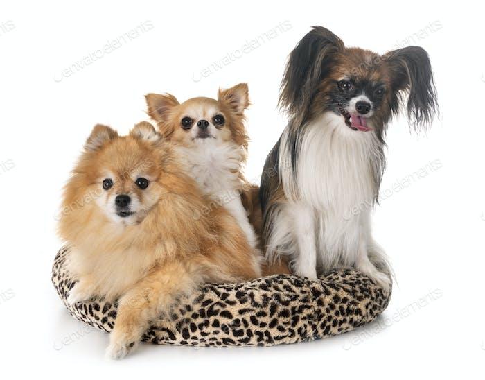 little dogs in studio