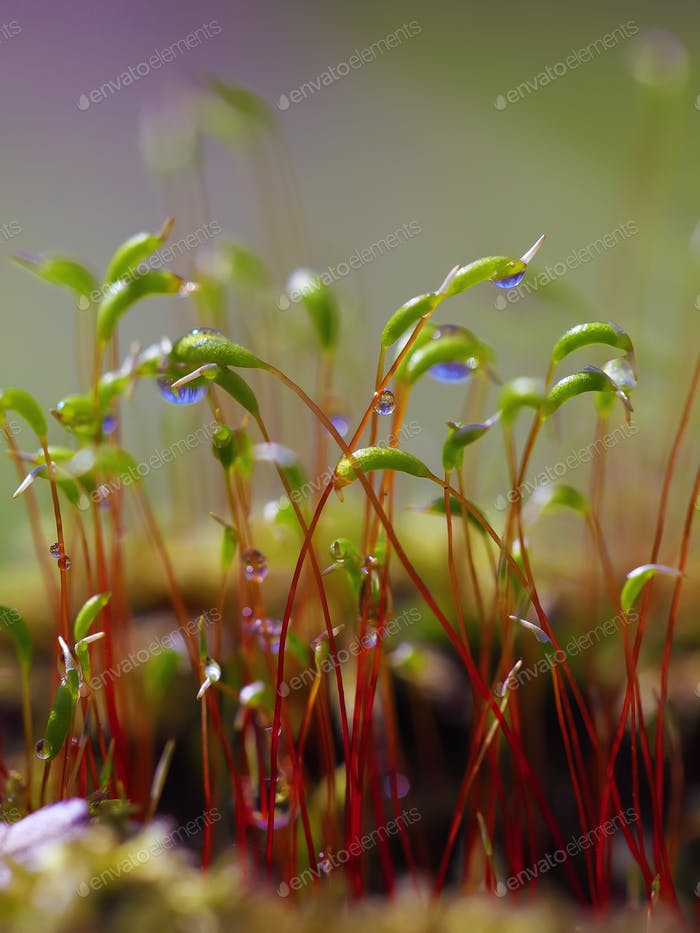 macro shot of some moss spores absorbing raindrops