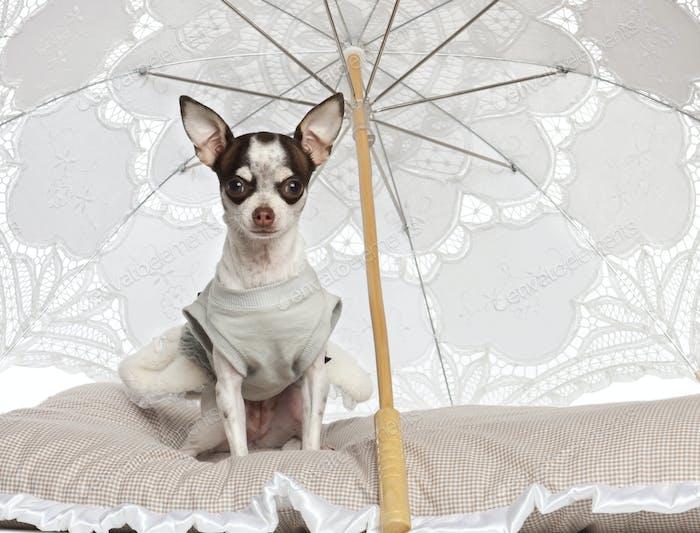 Chihuahua, 10 meses de edad, sentado bajo sombrilla sobre Fondo blanco