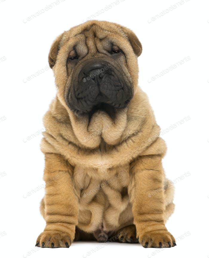 Shar pei puppy sitting (11 weeks old) isolated on white