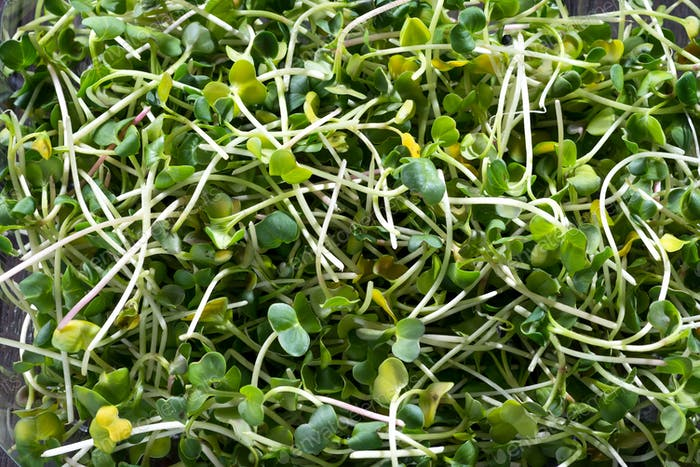 Fresh micro greens radish, sprouts for healthy salad. Food background