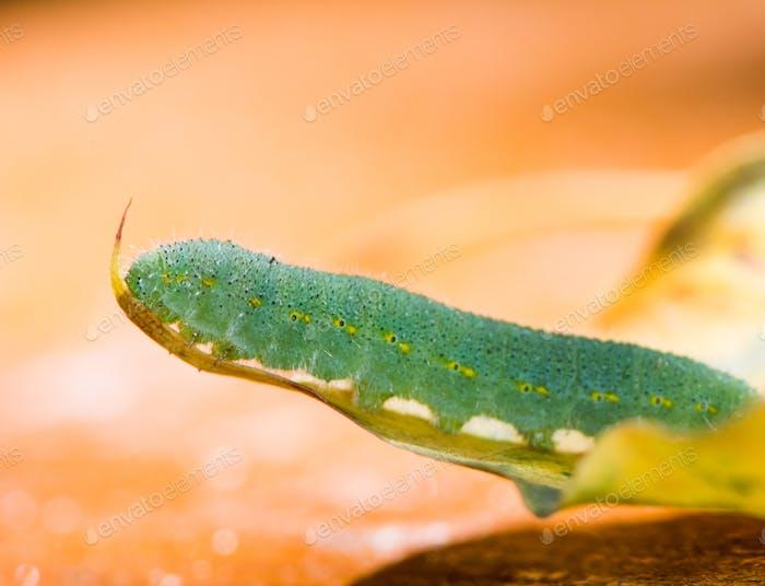 Green caterpillar of a butterfly