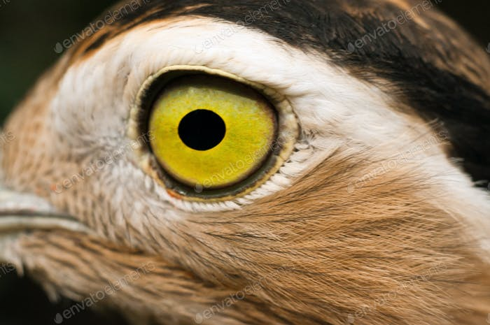 Closeup Eye of a Bird