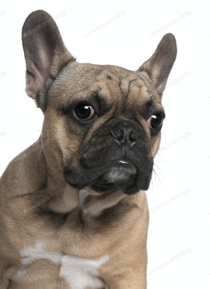 Close-up of French Bulldog puppy, 6 months old, in front of white background
