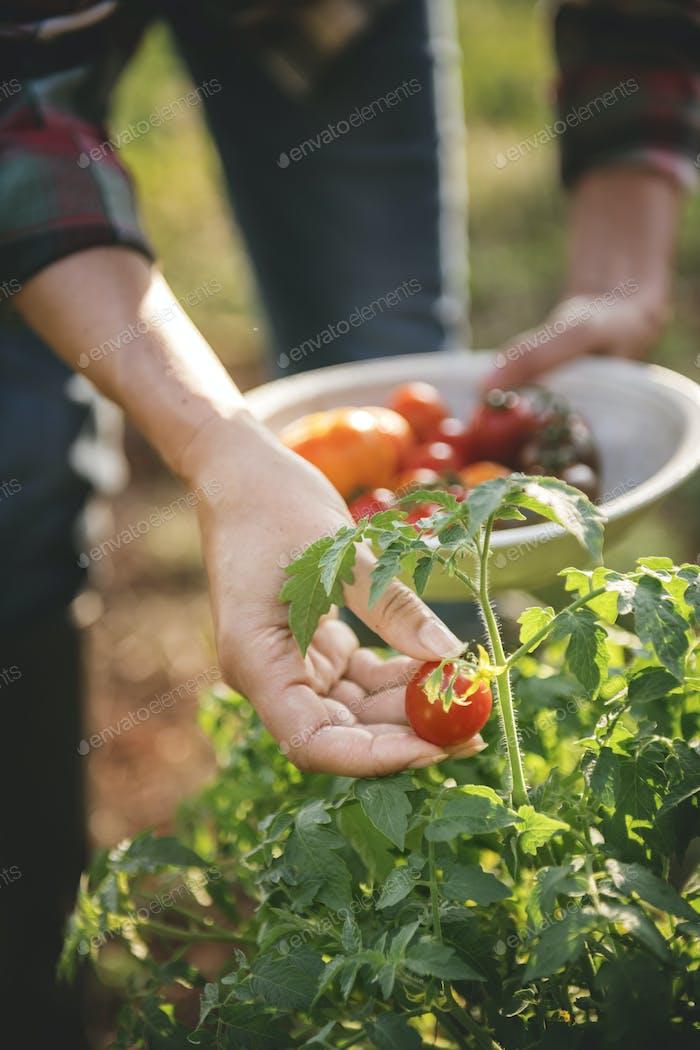 Picking fresh tomatoes