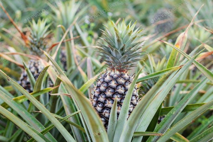 Pineapple planted of countryside