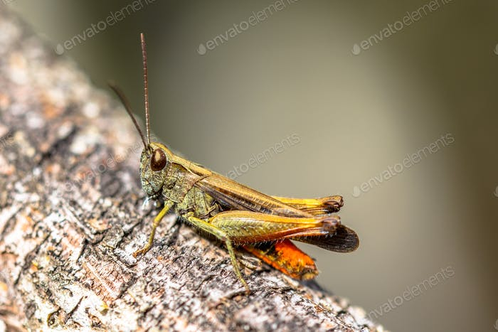 Woodland Grasshopper on branch