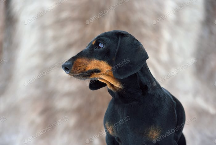 Black and tan miniature smooth dachshund