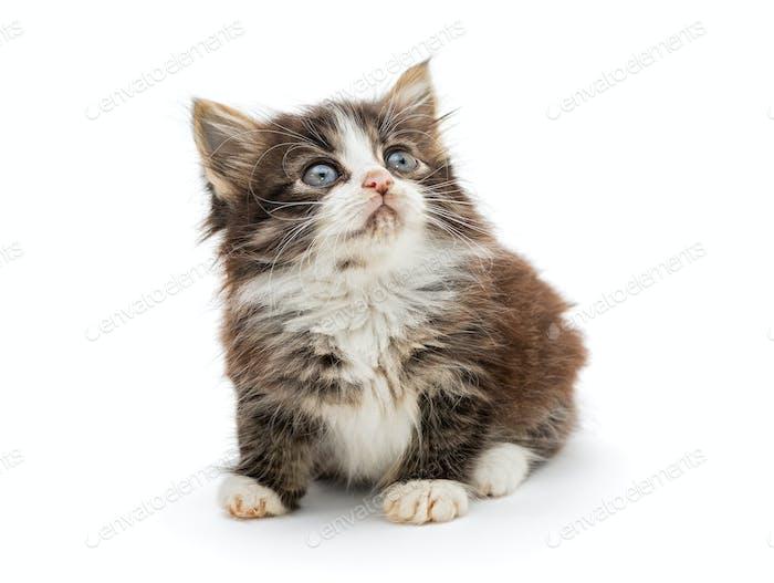 Kleines flauschiges Kätzchen