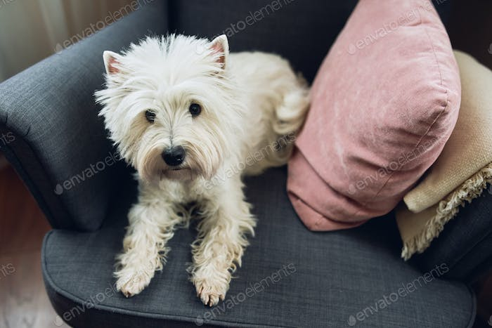 White Terrier, West highland dog sits in a gray chair at home.