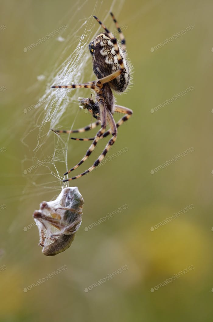 Hunting wasp spider
