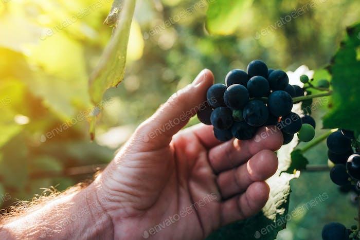 Farmer examining grapes grown in organic grapeyard