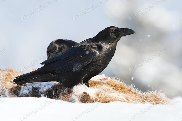 Common raven standing on prey in snow in wintertime