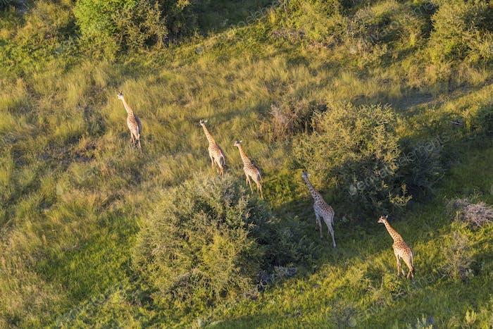 Aerial view of five giraffes walking in line through lush delta.