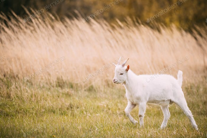 Kid Goat Grazes In Spring Grass. Farm Baby Animals
