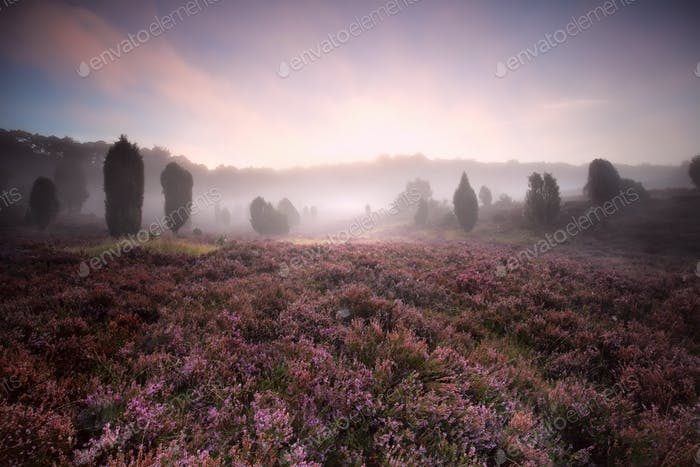 flowering heather during foggy sunrise