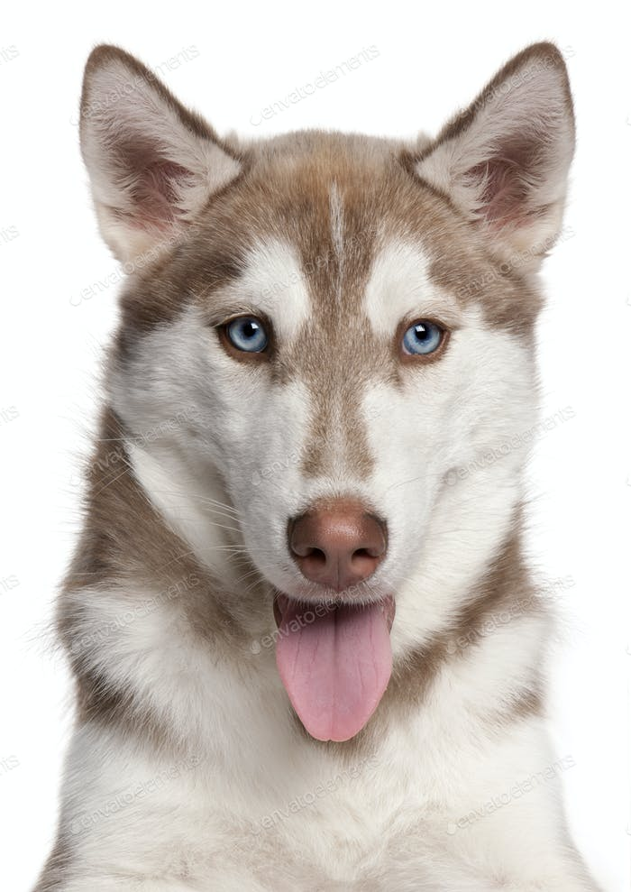 Siberian Husky puppy (4 months old)