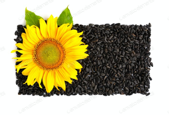 Yellow sunflower and sunflower seeds on a white background. Top