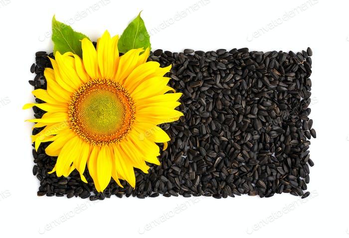Gelbe Sonnenblumen- und Sonnenblumenkerne auf einem weißen Hintergrund. Oben