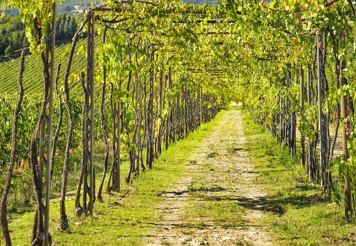 Vineyard grape pergola in Chianti region. Tuscany, Italy