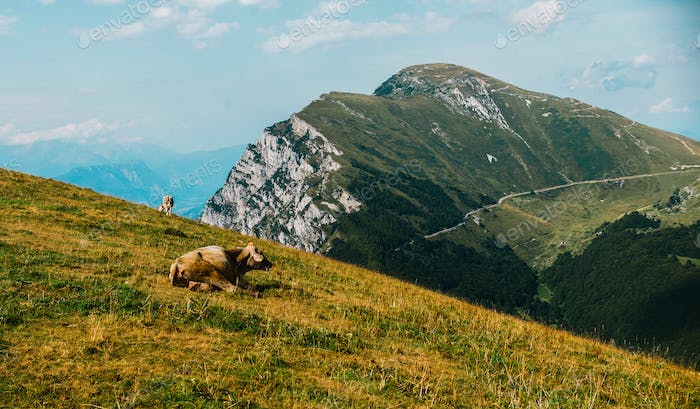 cows in a meadow in the alps, Italy, Monte Baldo