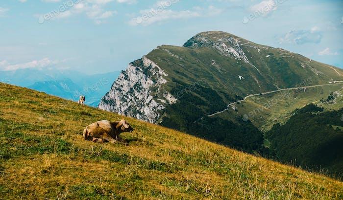 Kühe auf einer Wiese in den Alpen, Italien, Monte Baldo