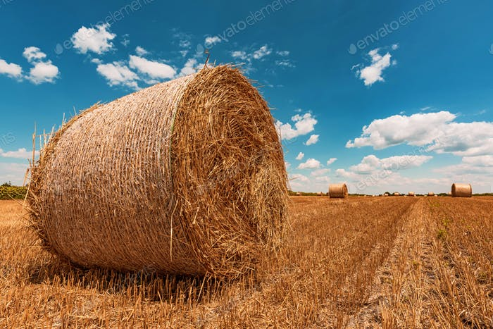 Runde Weizenheballen Trocknen in Feldstoppeln nach der Ernte