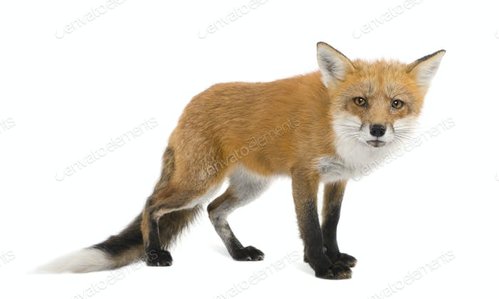 Roter Fuchs (4 Jahre) - Vulpes vulpes