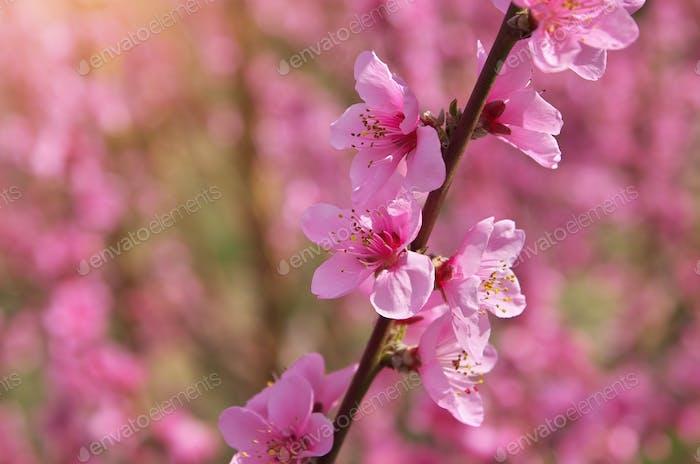 Frühling von Pfirsichgarten.
