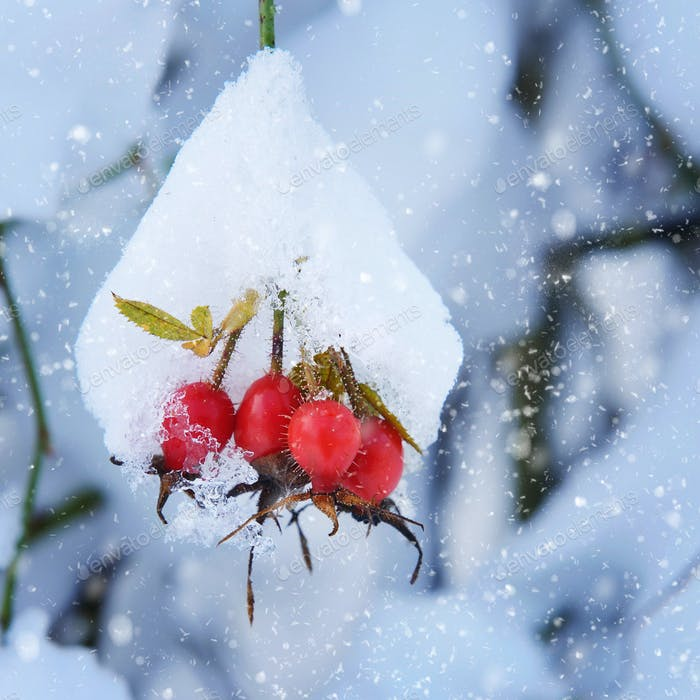 Red rosehip berries with snow