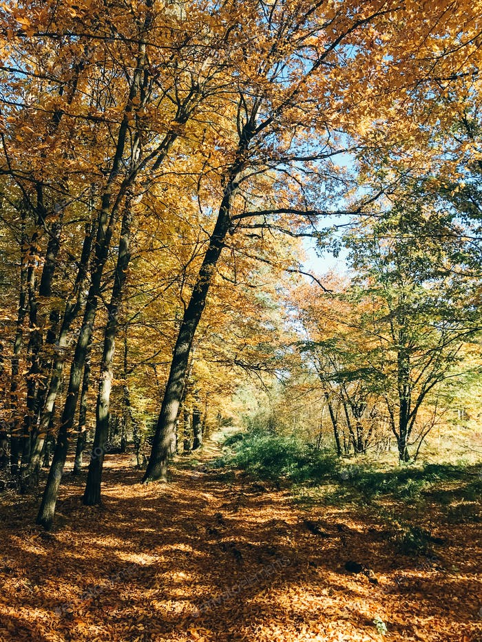 Beautiful yellow and green trees and path way in fall leaves in sunny warm forest