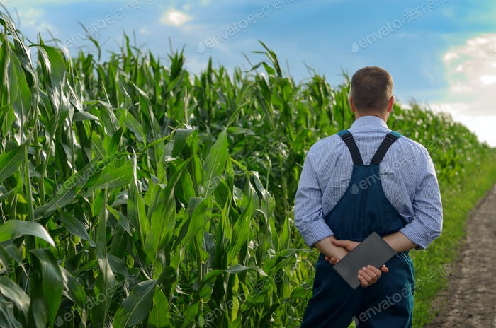 Farmer with tablet computer inspecting corn at field